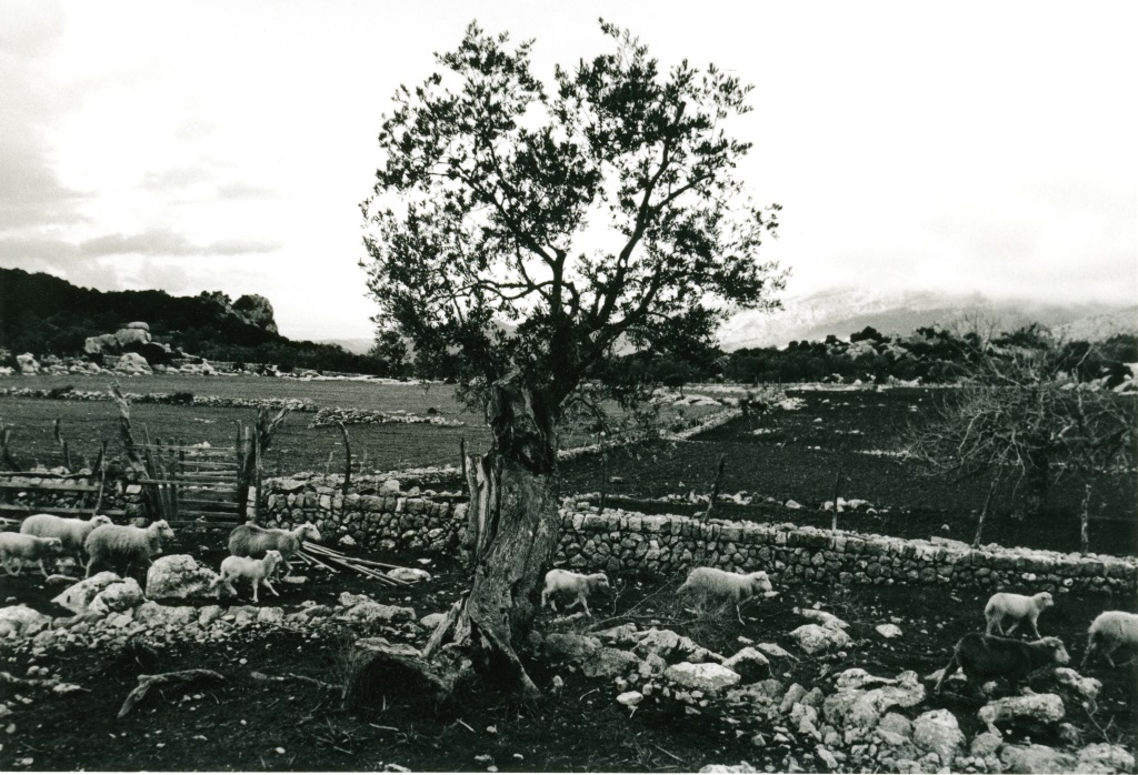311 1972 sheep mortitx copie
